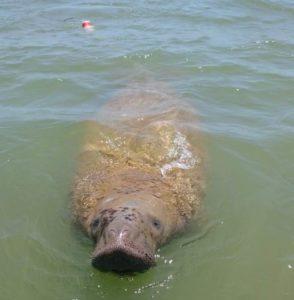 Fundação Mamíferos Aquáticos registra peixe-boi marinho em SE