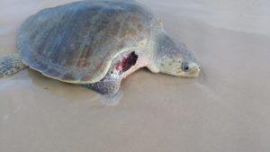 Donos de cães podem ser responsabilizados por mortes de tartarugas